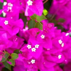 цветы бугенвиллея