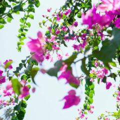 цветы бугенвиллея лианы