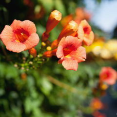 оранжевые цветы кампсис