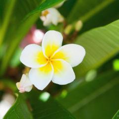 цветок белой плюмерии