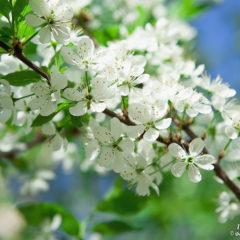 белые цветы вишни весна зеленые листья