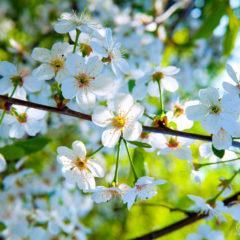 весна цветущая белая вишня