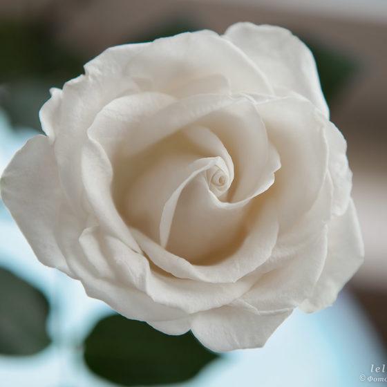 фото для интерьера, роза