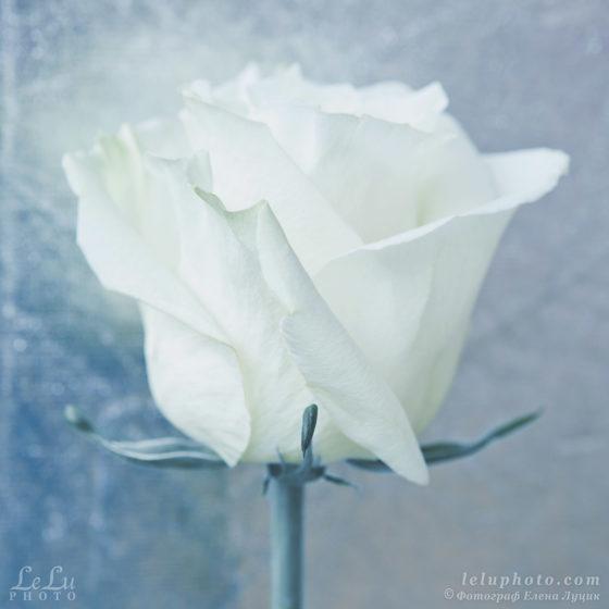 стилизованное фото с белой розой для интерьера