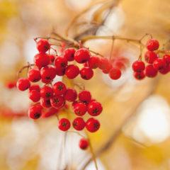 ягоды рябины, осень
