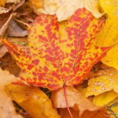 лист клена, осень