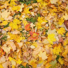 осень, осенняя листва, клен