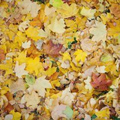 осенние желтые листья, осень