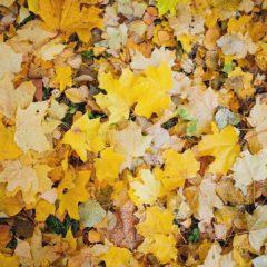 осенние желтые листья, клен, осень золотая