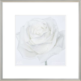 фотокартина с белой розой