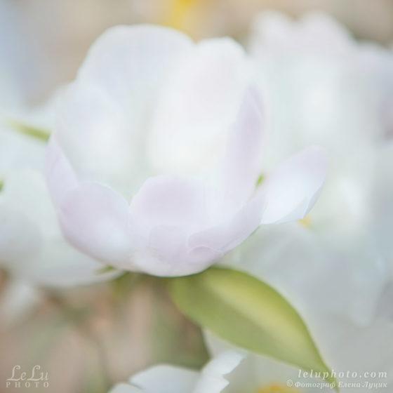 акварельное фото белого пиона с розовым отсветом