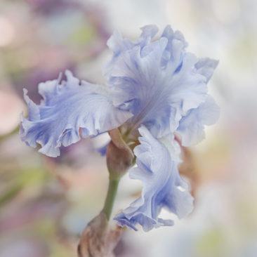 ирис, цветок, акварельный стиль