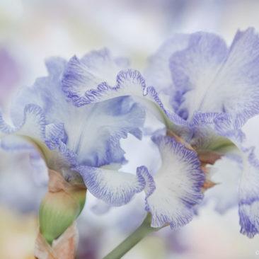 ирисы, цветы