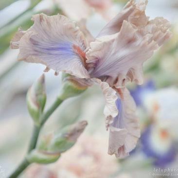 цветок, ирис, акварельный стиль