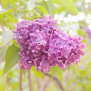 сирень, гроздь сирени, весна, цветы