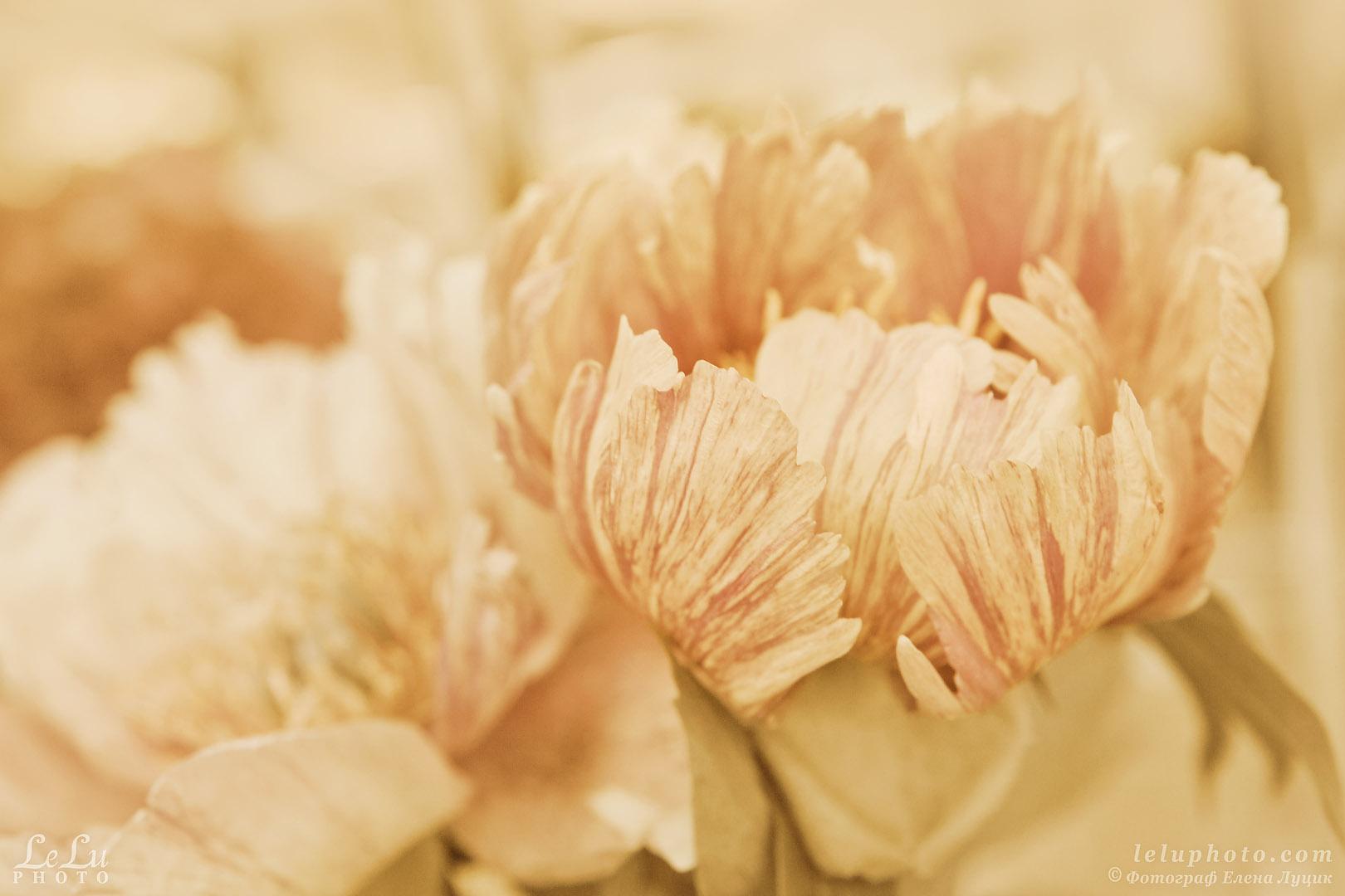 пионы, цветы