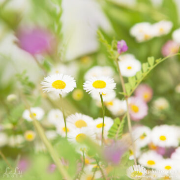 цветы, ромашки, лето, лужайка