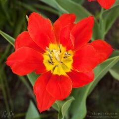 алый раскрытый тюльпан