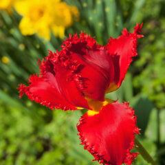 бахромчатый тюльпан