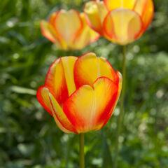 тюльпаны в солнечных лучах