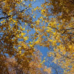Деревья с золотистой листвой.