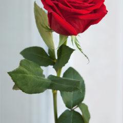 роза и мороз