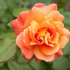 Роза c лепестками цвета солнечной зари