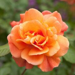 Роза цвета солнечной зари