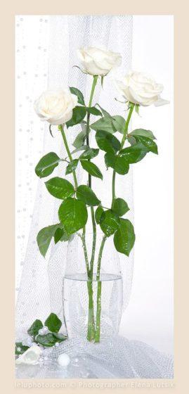 натюрморт три белые розы