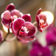 бордовые цветы орхидеи