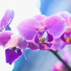 цветы орхидеи лиловые