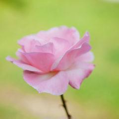 розовая роза на салатовом фоне
