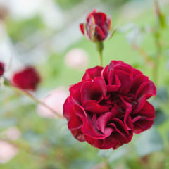 садовая бордовая роза