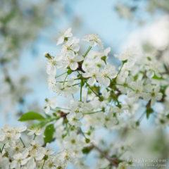 белоснежные нежные цветы вишни