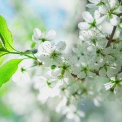 весна белые цветы вишни