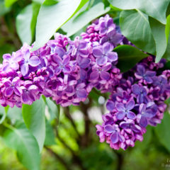 сирень крупные цветки