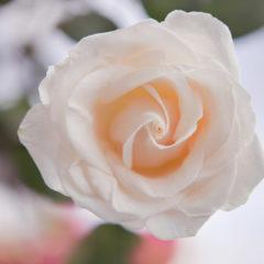 цветок, роза