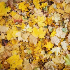 осенняя желтая листва клена