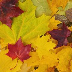 осенние разноцветные листья клена