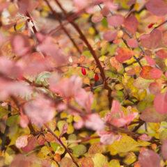 веточки барбариса осенью