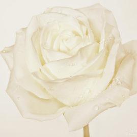 белая роза в теплых оттенках