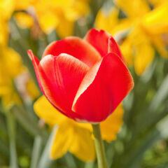 Красный тюльпан на фоне желтых нарциссов