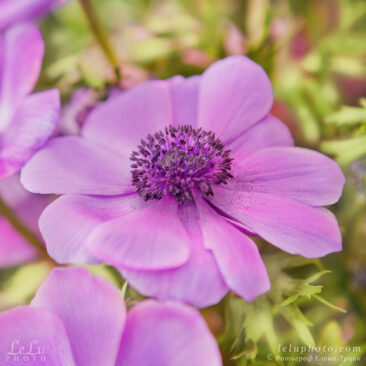 цветок, лиловый анемон