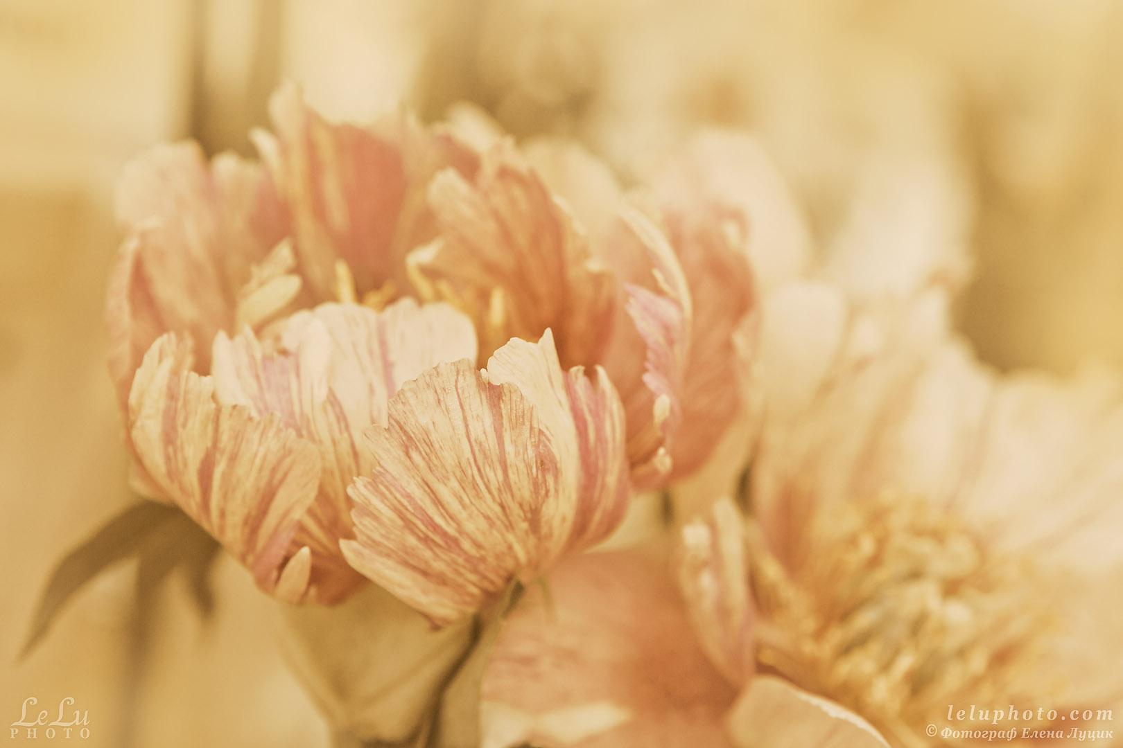 цветок пион, стилизованное фото