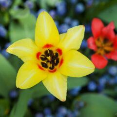желтый и красный тюльпаны