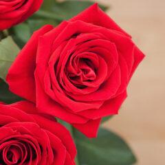 алые розы