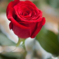 красная роза и акварель