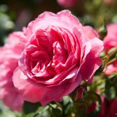 Цветущие розы в саду
