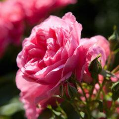 Майская роза в саду