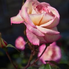 Роза цвета утреннего рассвета
